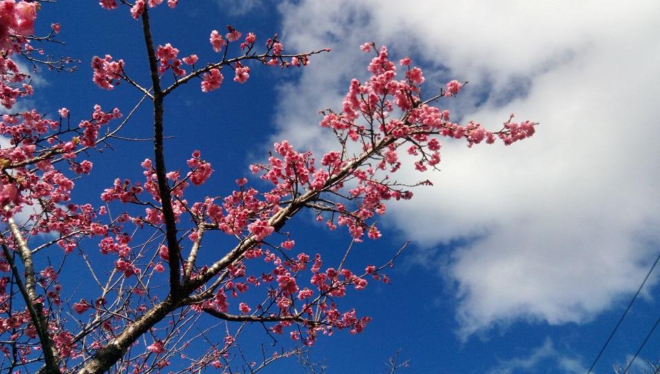Cherry blossom in Motobu Yaedake Cherry Blossom Festival