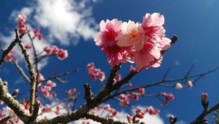 もとぶ八重岳桜まつり、日本で一番早い桜まつりです