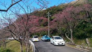 They are watching cherry blossoms while moving by car in Motobu Yaedake Cherry Blossom Festival 1
