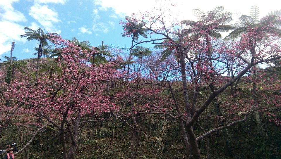 cherry blossoms and tree fern in Motobu Yaedake Cherry Blossom Festival 1