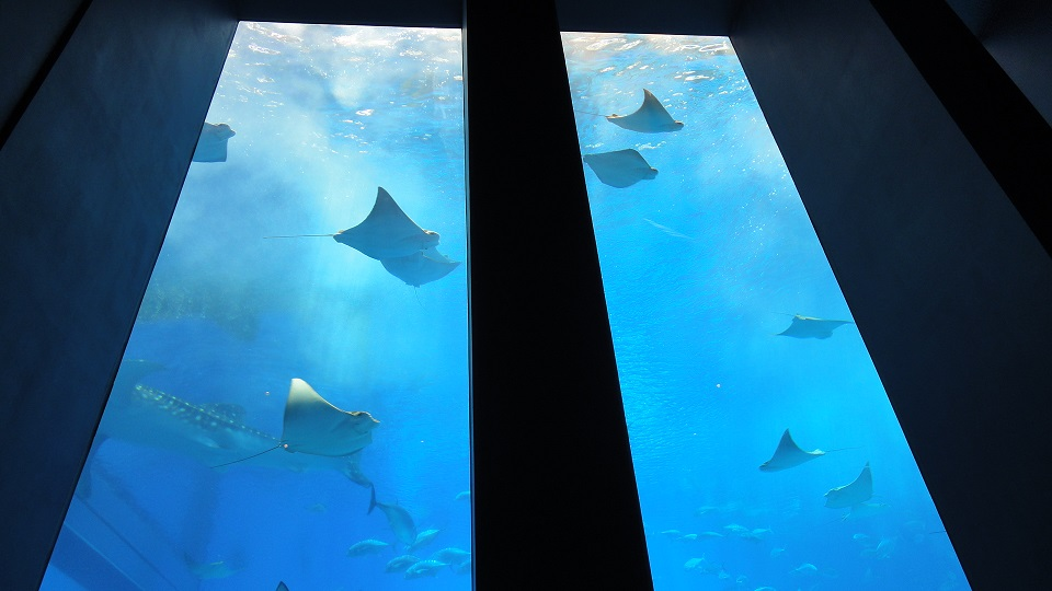 Looking up from the aquarium seat, Manta swams