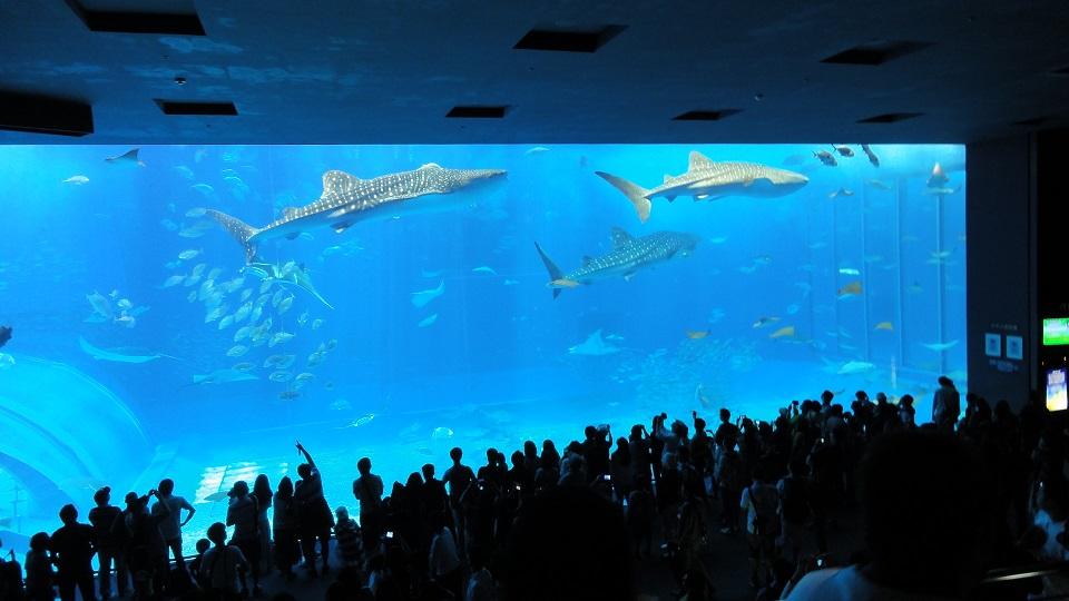 美ら海水族館でジンベエザメとマンタが一緒に泳いでいる写真2