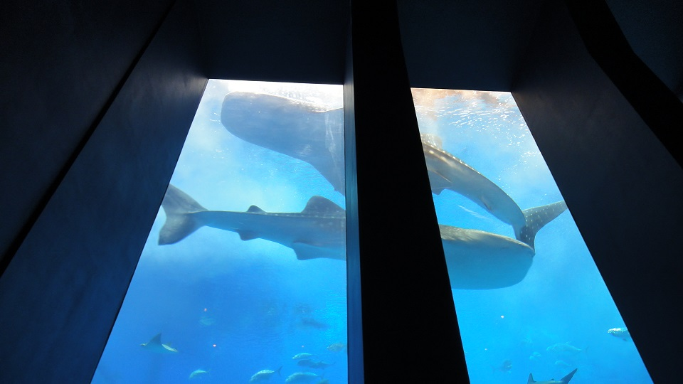 A whale shark is swimming when looking up from the aquarium seat