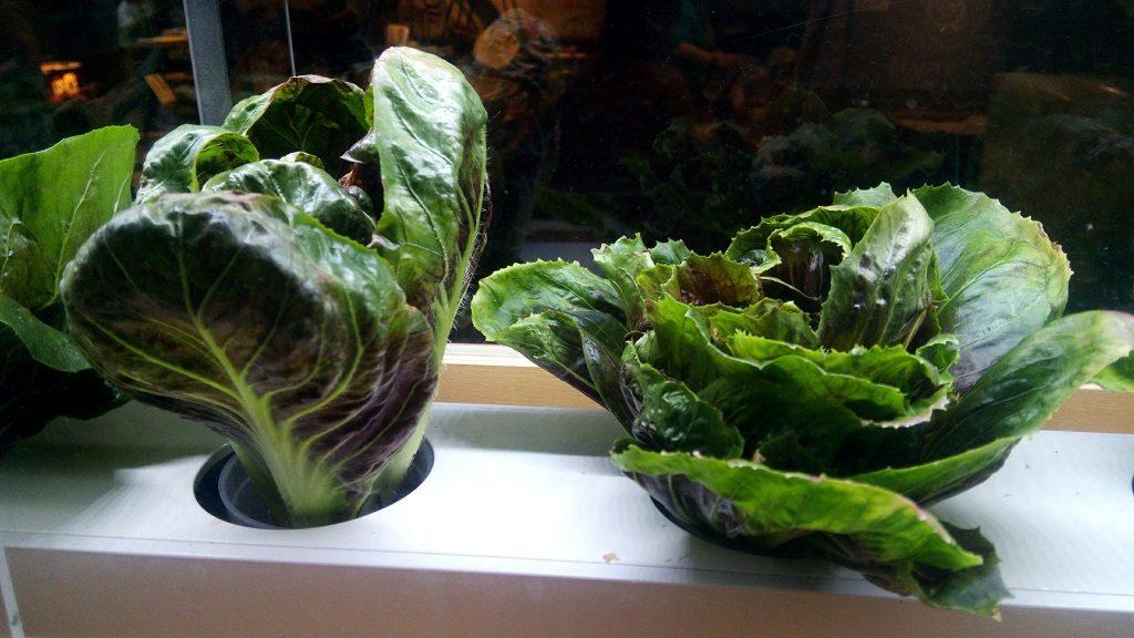 カラカラの店内で育てられている野菜2