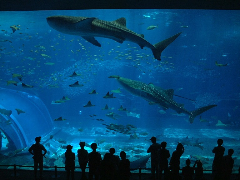 美ら海水族館でジンベエザメとマンタが一緒に泳いでいる写真3