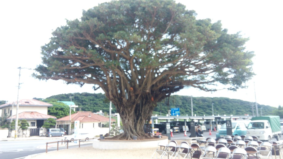 large gajumaru tree