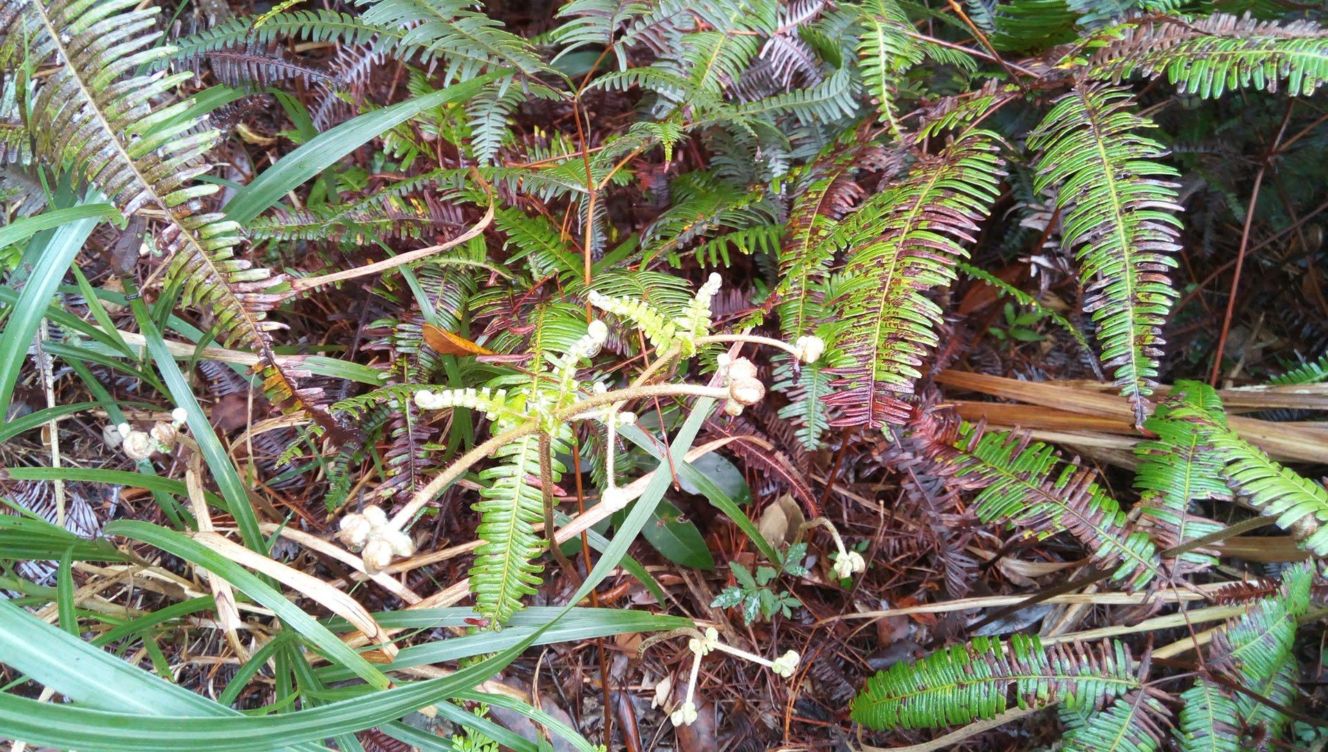 国頭トレイルウォークで見かけた植物 5