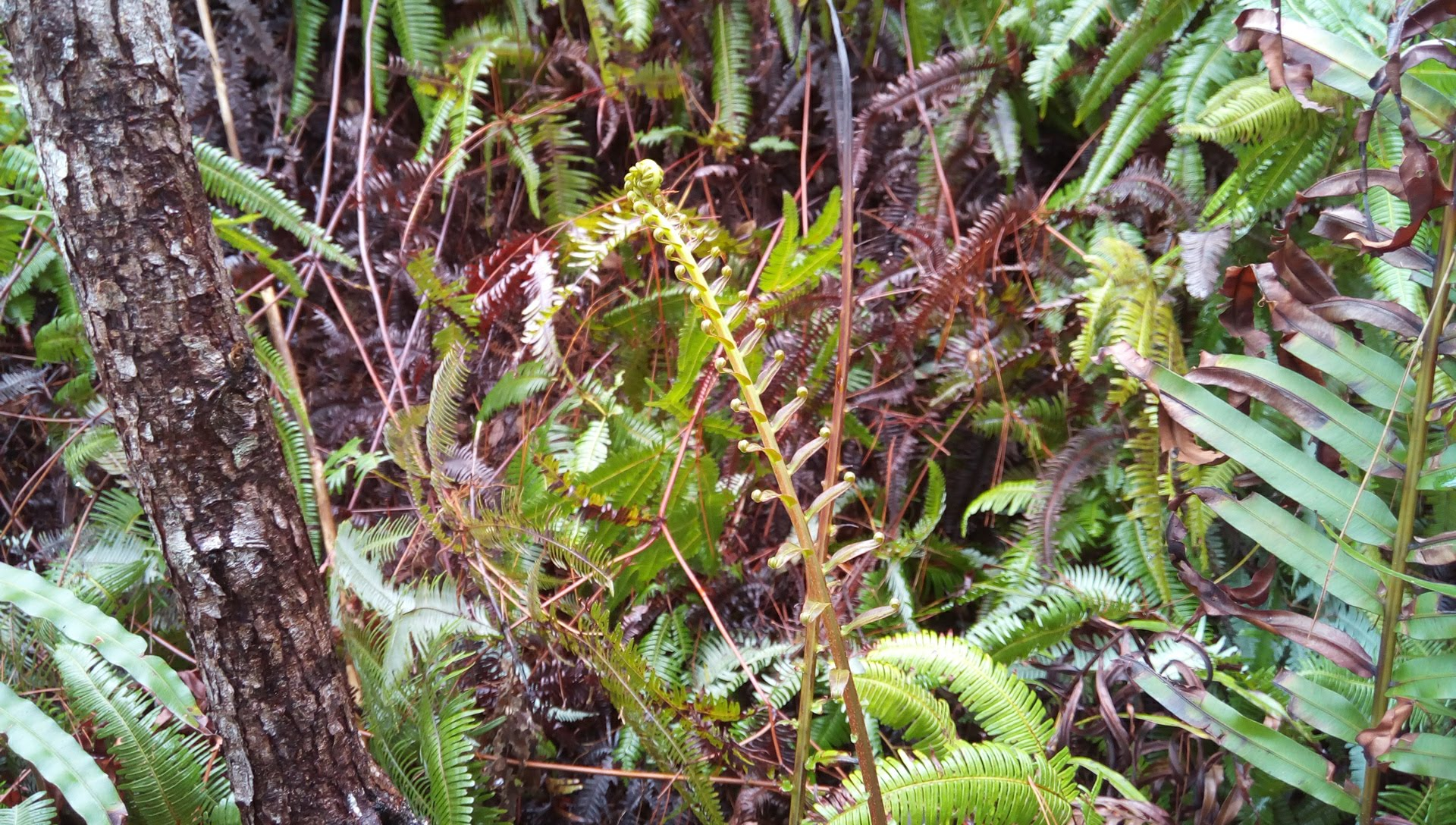 国頭トレイルウォークで見かけた植物 7