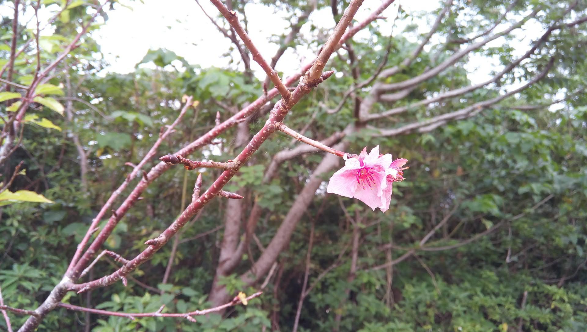 12月なのに桜が咲いていました
