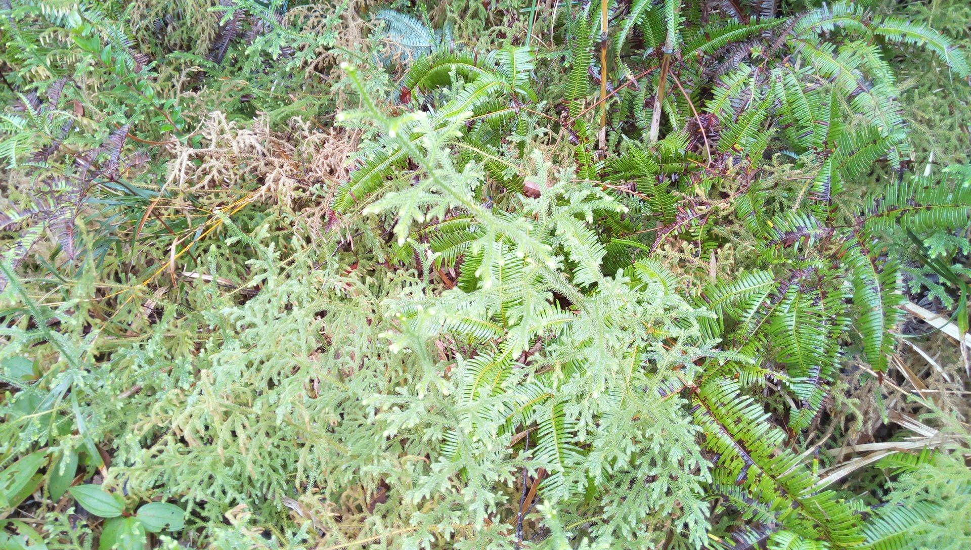 国頭トレイルウォークで見かけた植物 4