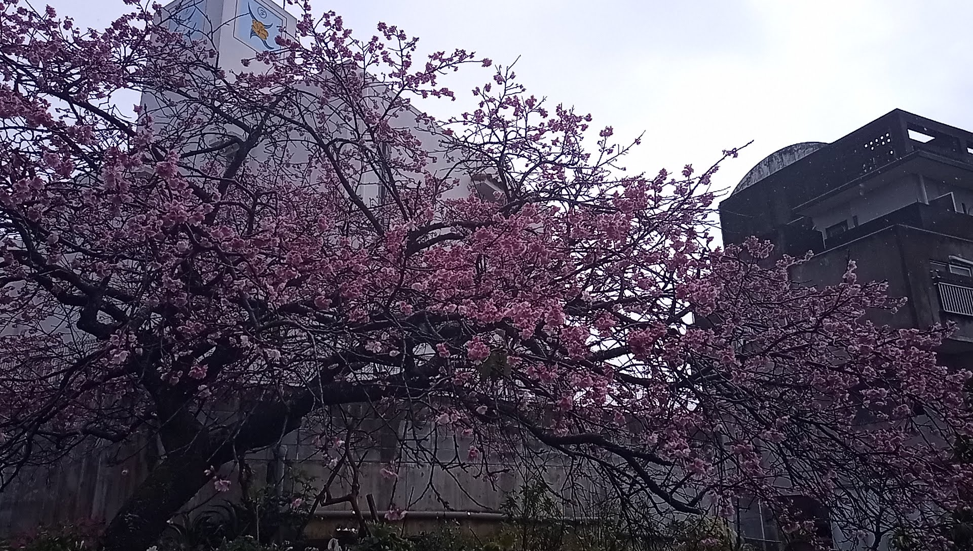 The cherry blossoms were beautiful in February