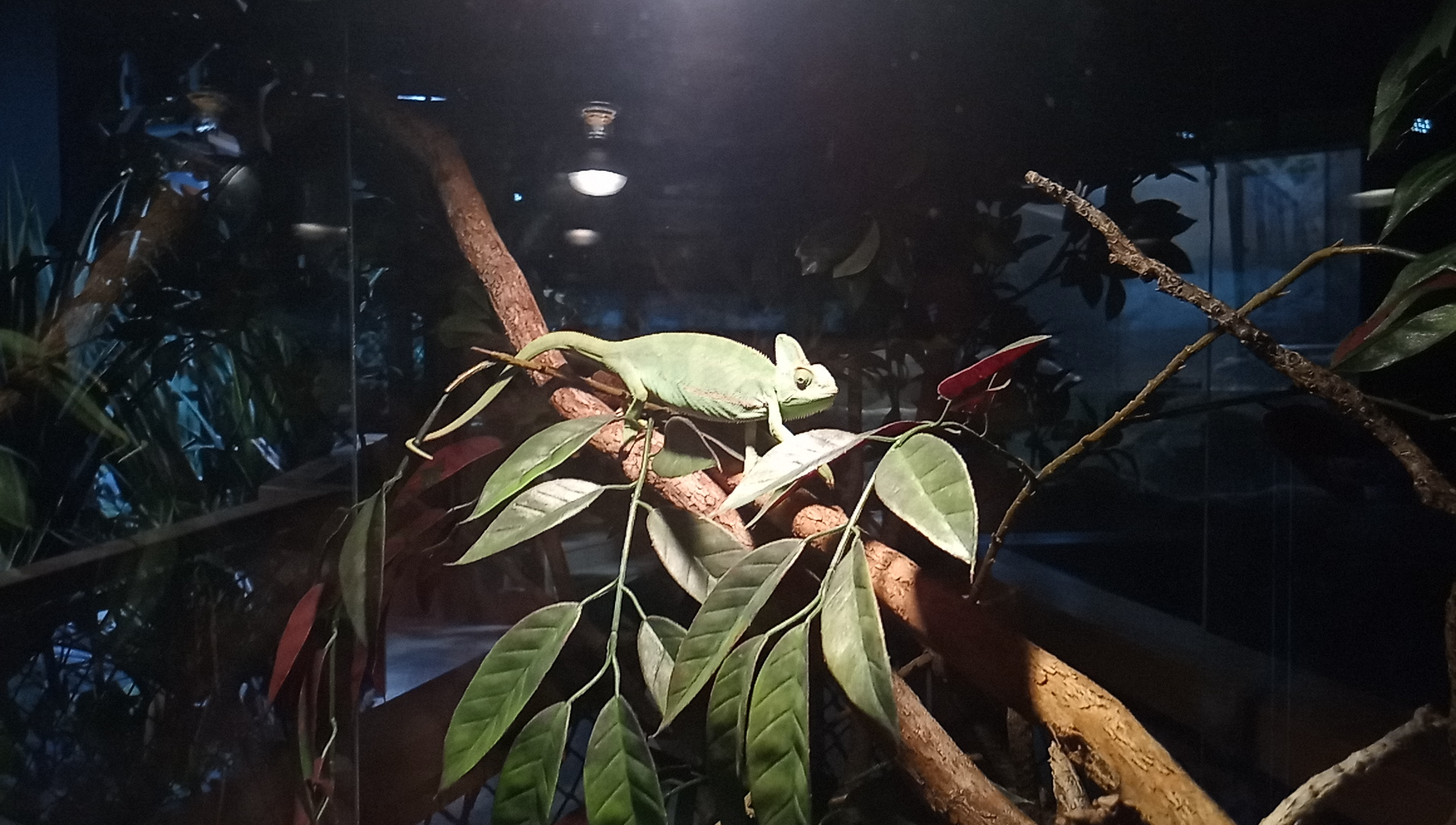 DMMかりゆし水族館のエボシカメレオン