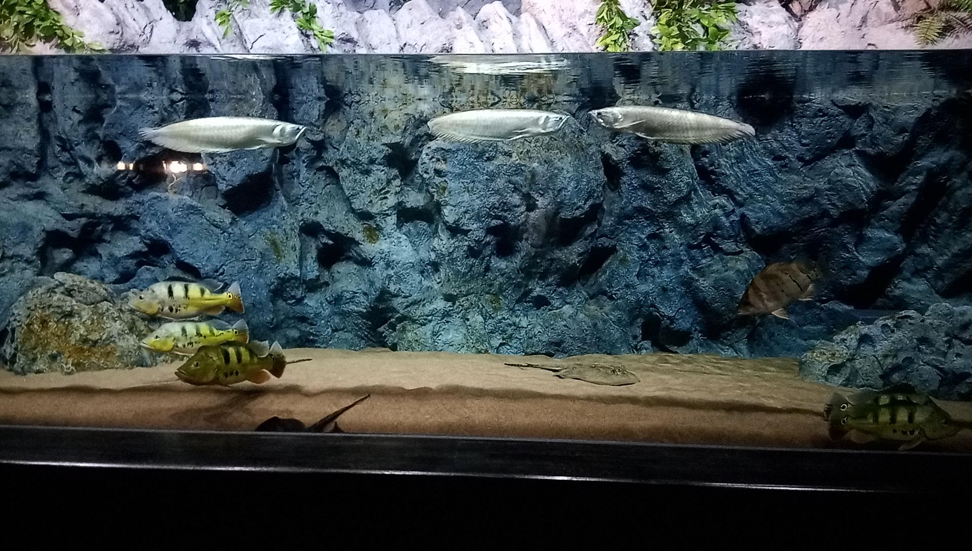 DMMかりゆし水族館のアロワナ水槽
