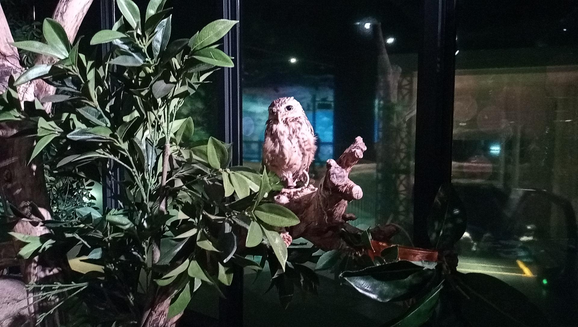 DMMかりゆし水族館のアナホリフクロウ